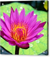 Water Lily Acrylic Print by Bill Brennan - Printscapes