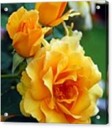 Yellow Roses Acrylic Print by Amy Fose