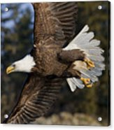 Bald Eagle Acrylic Print by John Hyde - Printscapes