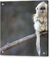 Golden Snub-nosed Monkey Rhinopithecus Acrylic Print by Cyril Ruoso