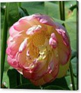 Lotus Blossom  Acrylic Print by Crystal Garner