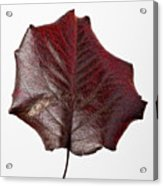 Red Leaf 4 Acrylic Print by Robert Ullmann
