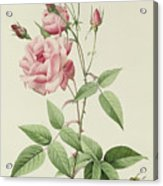 Rosa Indica Vulgaris Acrylic Print by Pierre Joseph Redoute