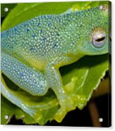 Spiny Glass Frog Acrylic Print by Dante Fenolio