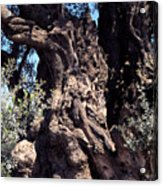 2000 Year Old Olive Tree Acrylic Print by Thomas R Fletcher