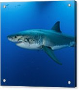 Male Great White Shark, Guadalupe Acrylic Print by Todd Winner