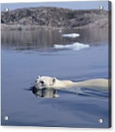 Polar Bear Swimming Wager Bay Canada Acrylic Print by Flip Nicklin