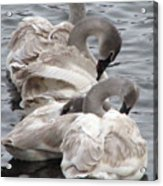 4 Swans Acrylic Print by Laurie With