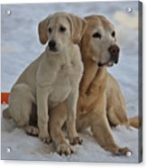 Yellow Labradors Acrylic Print by Steven Lapkin