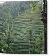 A Bahasa, Or Coconut Tree Climber Acrylic Print by Justin Guariglia