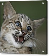A Bobcat At A Wildlife Rescue Members Acrylic Print by Joel Sartore