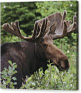 A Bull Moose Among Tall Bushes Acrylic Print by Michael Melford