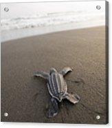 A Leatherback Sea Turtle Hatchling Acrylic Print by Joel Sartore