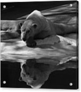 A Polar Bear Reflects Acrylic Print by Karol Livote