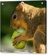 A Red Fox Squirrel Chews On A Walnut Acrylic Print by Joel Sartore