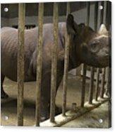 A Rhino At The Sedgwick County Zoo Acrylic Print by Joel Sartore