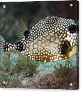 A Spotted Trunkfish, Key Largo, Florida Acrylic Print by Terry Moore