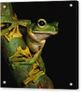 A Wallaces Flying Frog Acrylic Print by Tim Laman