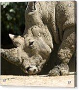 A White Rhino Sniffs The Dust Acrylic Print by Joel Sartore