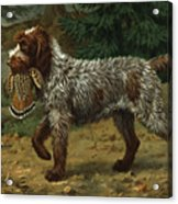 A Wire-haired Pointing Griffon Holds Acrylic Print by Walter A. Weber