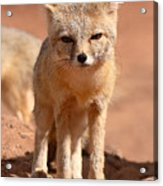 Adult Kit Fox Ears And All Acrylic Print by Max Allen