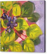African Violet Still Life Oil Painting Acrylic Print by Nancy Merkle