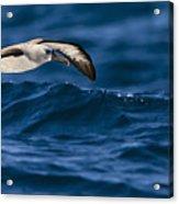 Albatross Of The Deep Blue Acrylic Print by Basie Van Zyl