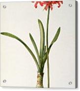 Amaryllis Curvifolia Acrylic Print by Pierre Redoute