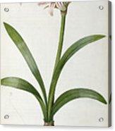 Amaryllis Vittata Acrylic Print by Pierre Redoute