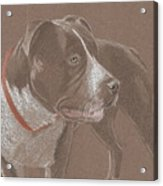 American Pit Bull Terrior 1 Acrylic Print by Stacey Jasmin