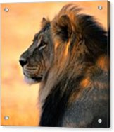 An Adult Male African Lion, Panthera Acrylic Print by Nicole Duplaix