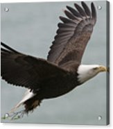 An American Bald Eagle Soaring Acrylic Print by Roy Toft