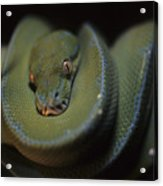 An Immature Green Tree Python Curled Acrylic Print by Taylor S. Kennedy