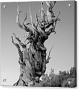 Ancient Bristlecone Pine Acrylic Print by Daniel Ryan