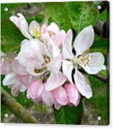 Apple Blossom Acrylic Print by Joyce Woodhouse