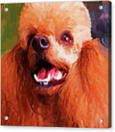 Apricot Poodle Acrylic Print by Jai Johnson