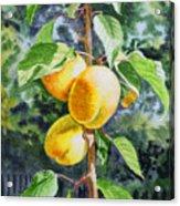 Apricots In The Garden Acrylic Print by Irina Sztukowski