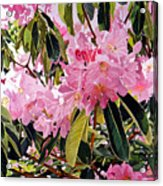 Arboretum Rhododendrons Acrylic Print by David Lloyd Glover