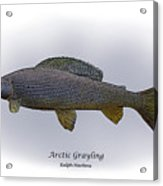 Arctic Grayling Acrylic Print by Ralph Martens