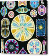 Art Of Diatom Algae (from Ernst Haeckel) Acrylic Print by Mehau Kulyk