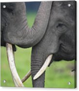 Asian Elephant Greeting Acrylic Print by Cyril Ruoso