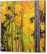 Aspen Trees Acrylic Print by Gary Kim