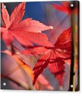 Autumn Maple Acrylic Print by Kaye Menner
