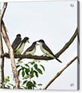 Baby Birds - Eastern Kingbird Family Acrylic Print by Christina Rollo