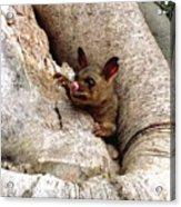 Baby Brushtail Possum Acrylic Print by Darren Stein