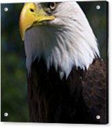 Bald Eagle Acrylic Print by JT Lewis