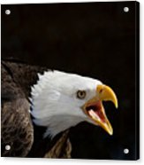 Bald Eagle Portrait 2 Acrylic Print by Laurie With