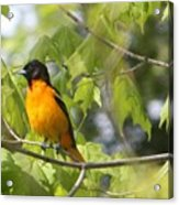 Baltimore Orioles  Acrylic Print by Nancy TeWinkel Lauren
