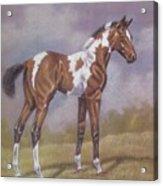 Bay Paint Foal Acrylic Print by Dorothy Coatsworth