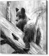 Bear Bottom Acrylic Print by Paul Sachtleben